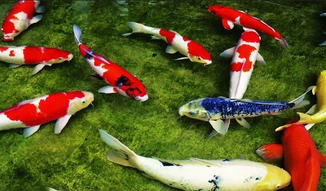 Cá Koi phải thật sự khỏe mạnh và có màu sắc đẹp