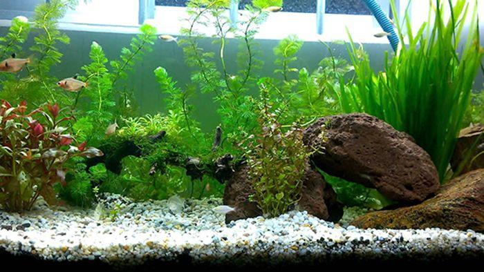 Cây cảnh thủy sinh giúp làm sạch môi trường sống của cá trong bể