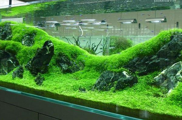 Thủy sinh Trân Châu - loại cây thủy sinh có đặc tính dễ sống nhất