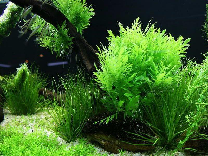 Thủy Cúc - loại cây tạo cho hồ cá thủy sinh nhiều chất dinh dưỡng nhất