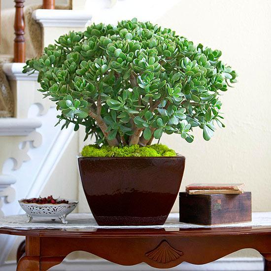 Ngọc Bích - cây trồng trong nhà biểu tượng cho tiền tài và phúc lộc