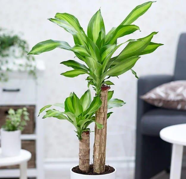 Loại cây cảnh được trồng nhiều nhất trong nhà
