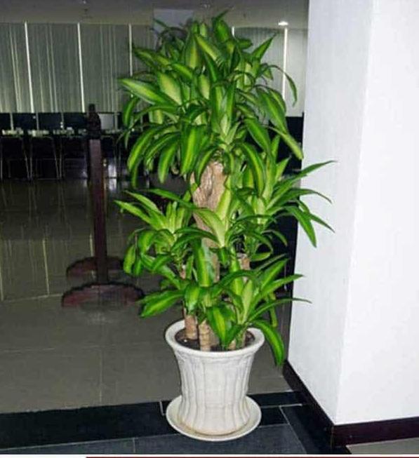Loại cây có khả năng thanh lọc không khí tốt, mang đến sự thoải mái và không gian xanh mát trong nhà